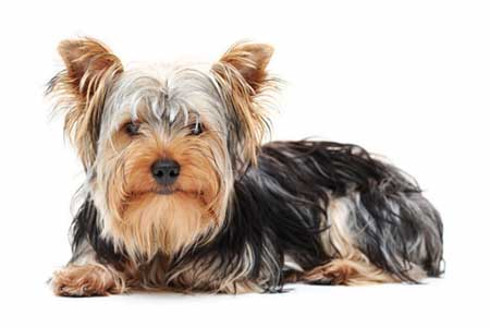 Most Popular Dog Breeds In The World Yorkshire Terrier