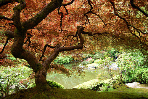 A Japanese maple tree,