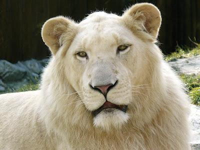 Fotos e Imagens de Leões - Foto de Leão branco