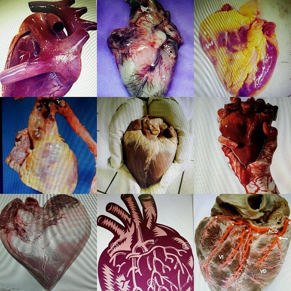 Indagando en la anatomía cardíaca!