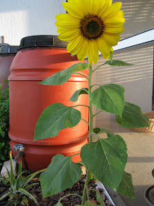rainbarrel and sunflower