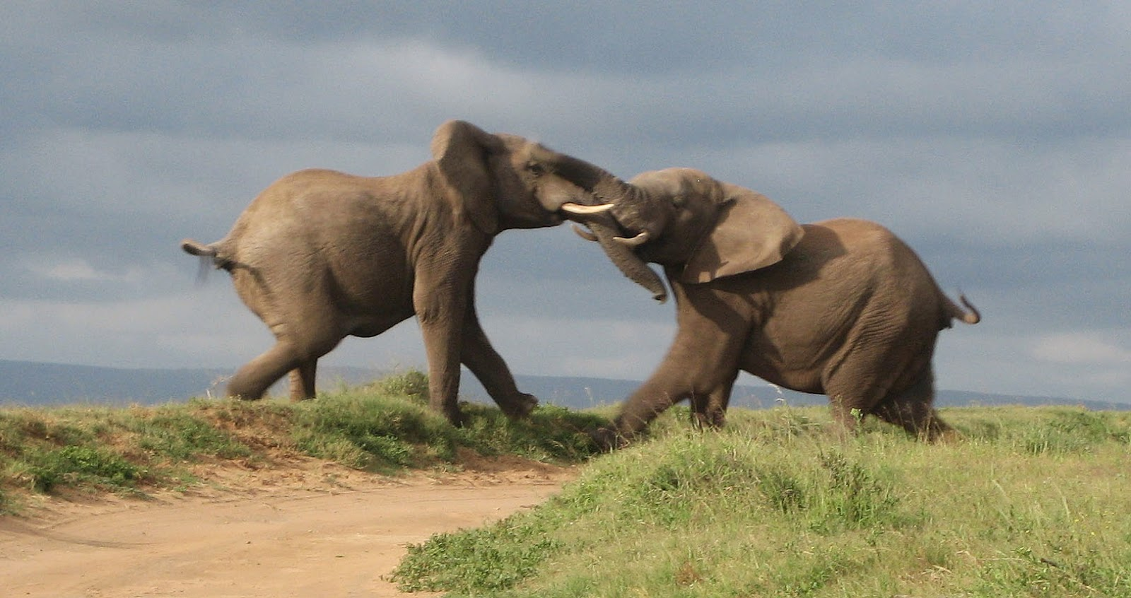 ase ah shay blog of the association of black psychologists there is an african proverb that states when elephants fight only the grass gets hurt it speaks to the notion that when important people battle over small