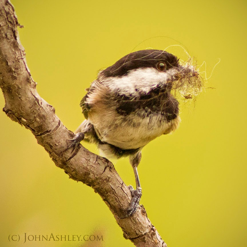 Chickadee with nesting material (c) John Ashley
