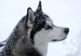 Siberian Husky Photos 1