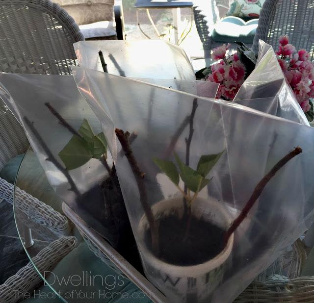 How to Dry Hydrangea  and Propagate Hydrangea