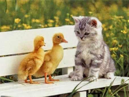 Gambar lucu kucing kecil dengan 2 anak itik