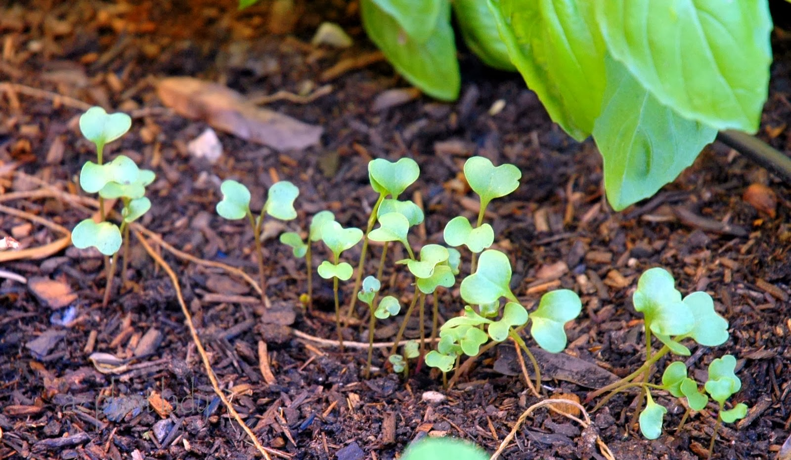 This Is The Only Photo I Have Of Radishes In My Garden. I Must Remember To  Take One When They Are A Bit More Developed.