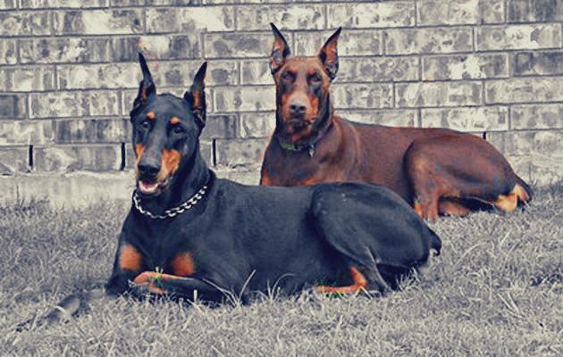 chien de garde et de défense