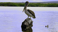 Pelican at The Wetlands, Isabela Island, Galapagos