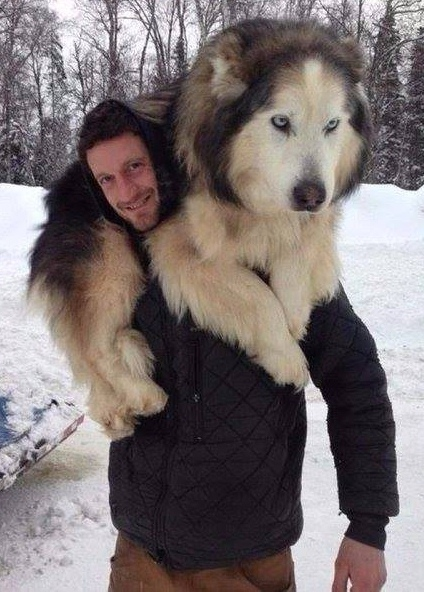 10 Dogs Who Don't Realize That They Are Huge-5 of 10