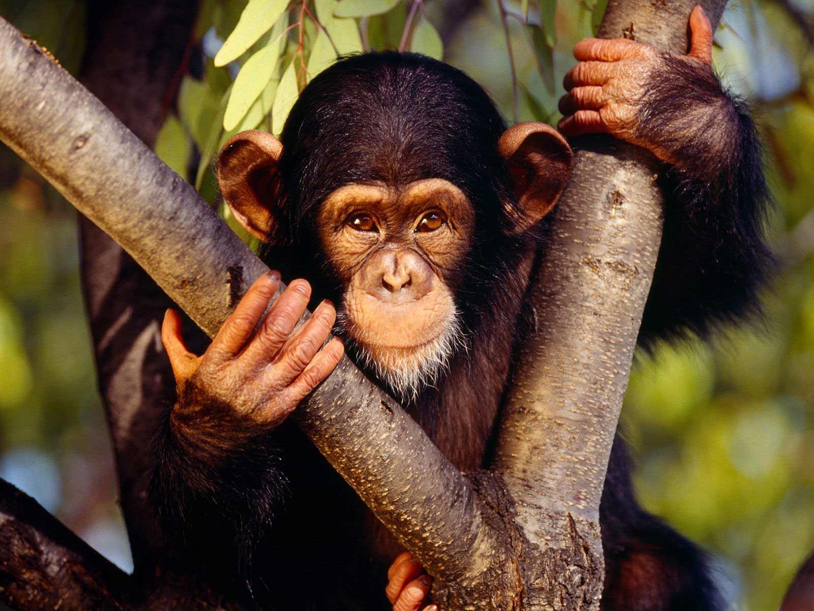 http://2.bp.blogspot.com/-3qzBUf6yoGc/UBkl9PCfirI/AAAAAAAAFZU/NtRebKDgVrA/s1600/Chimpanzees+wallpapers+7.jpg