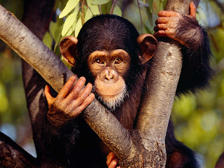 Chimpanzees Wallpapers