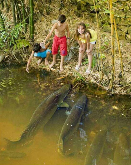 Big fishes of the world apapaima pirarucu page 2 for Big pond fish