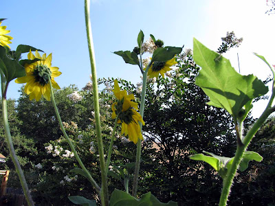 Annieinaustin,Sunflower, white crepe myrtles