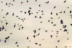 MIXED (MIGRATING) SWALLOW FLOCK