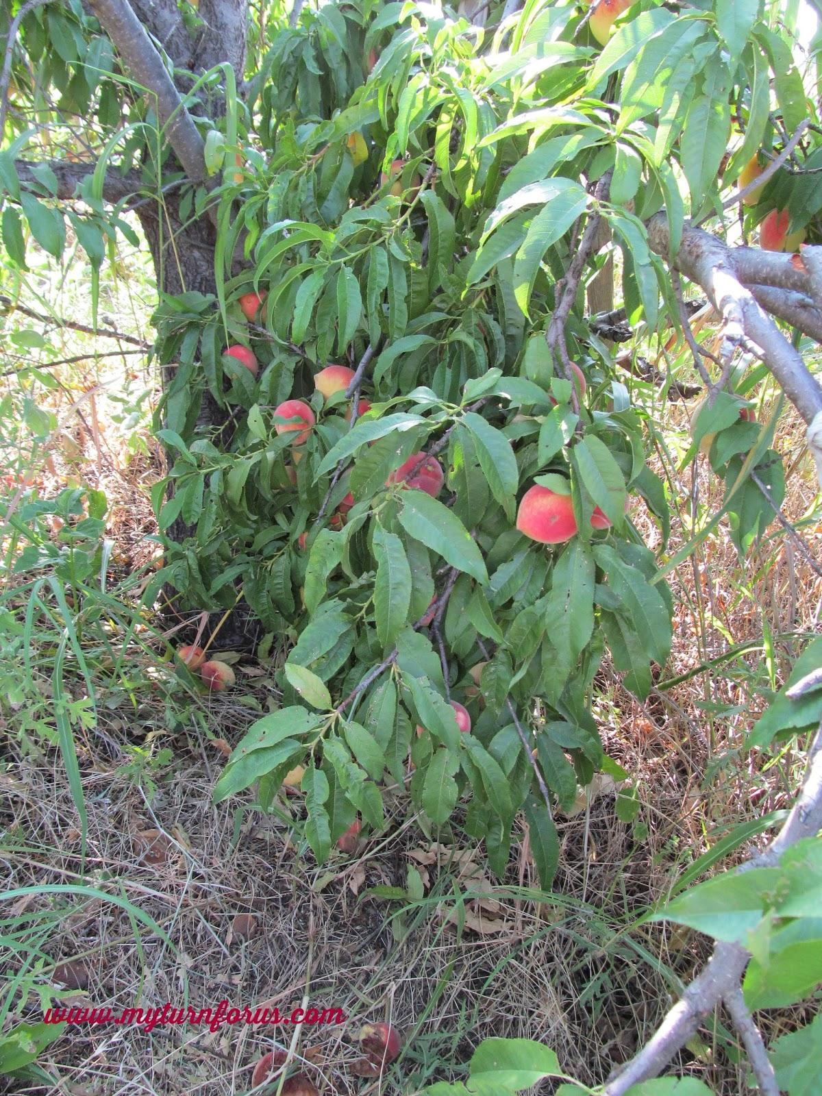 White peach jam for The peach tree