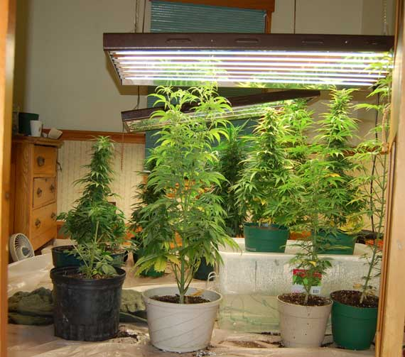 Cultivo Loco Indoor Vs Exterior Donde Cultivo