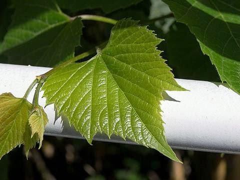 Manfaat Daun Anggur untuk Kesehatan Juga Kulit Wajah