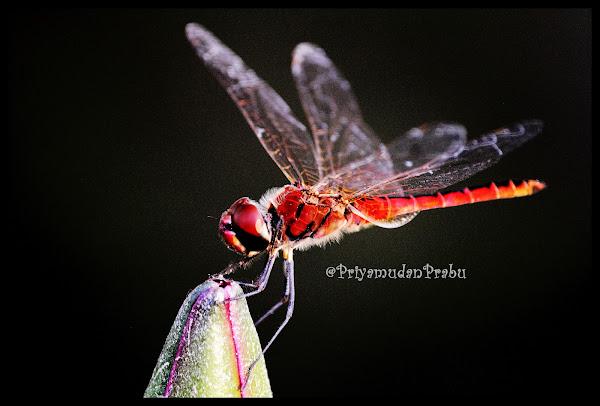 தட்டான்பூச்சி-புகைப்படம்-Dragonfly-Photos  Dragonfly-priyamudanprabu+(6)