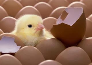 Anak Ayam Menetas [www.Kumpulanpertanyaansulit.blogspot.com]