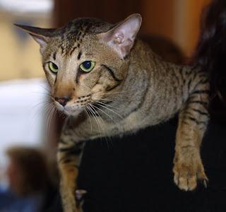 Oriental Cat Pictures