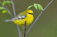 Blue-winged Warbler