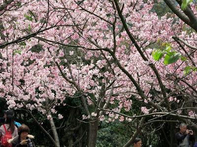 cherries, Taiwan