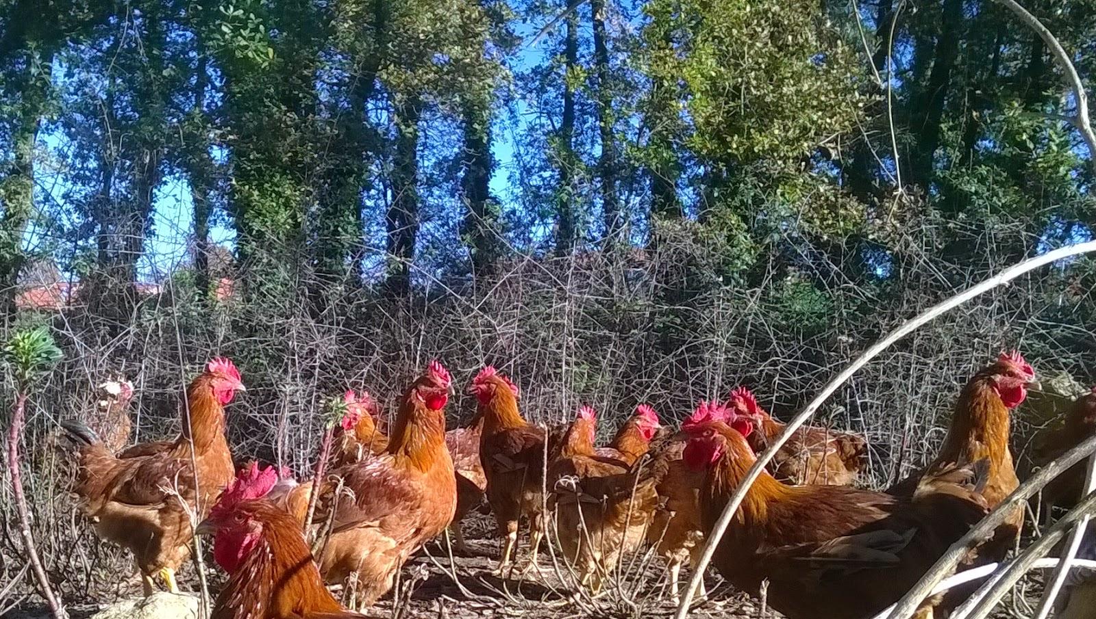 Pollos de corral del Montseny