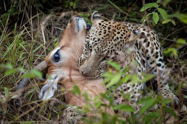 الفهد يطبق على حنجرة الظبي 1