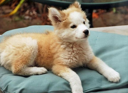 golden retriever and husky mix puppy picture golden retriever andGolden Retriever Mix