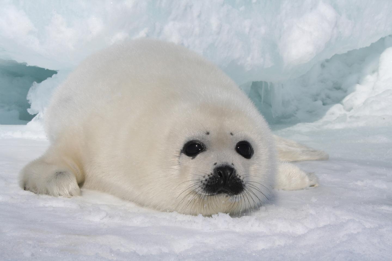 The Harp Seal | Cute Animal | Animals Lover