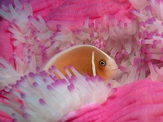 pink anemonefish (23)