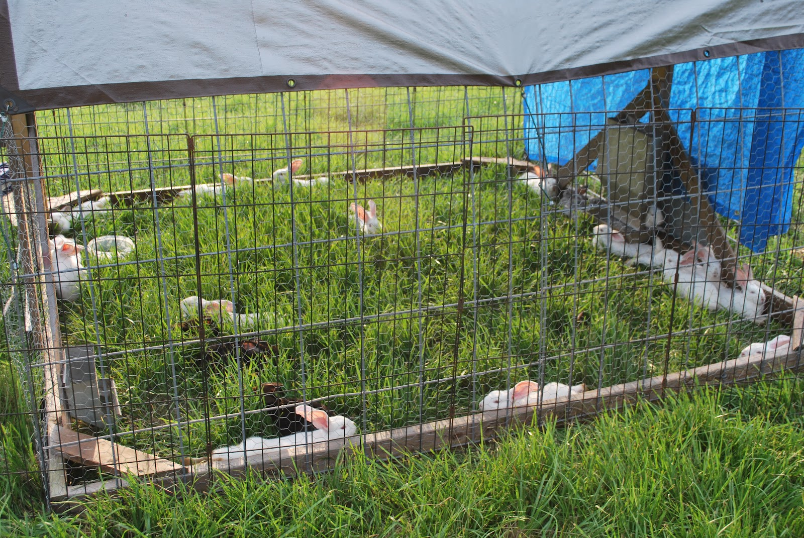 hightail farms rabbits on pasture
