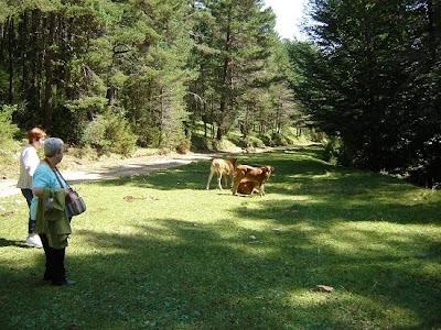 Vacas en la pista forestal hacia el Pla del Joc de Pilota
