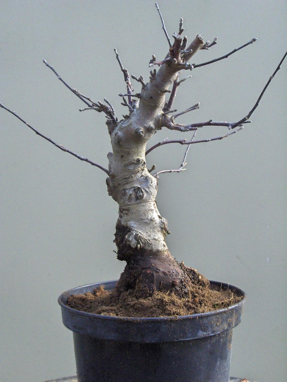Bons i suiseki y filosof a oriental escuela mediterr nea - Tierra para bonsais ...