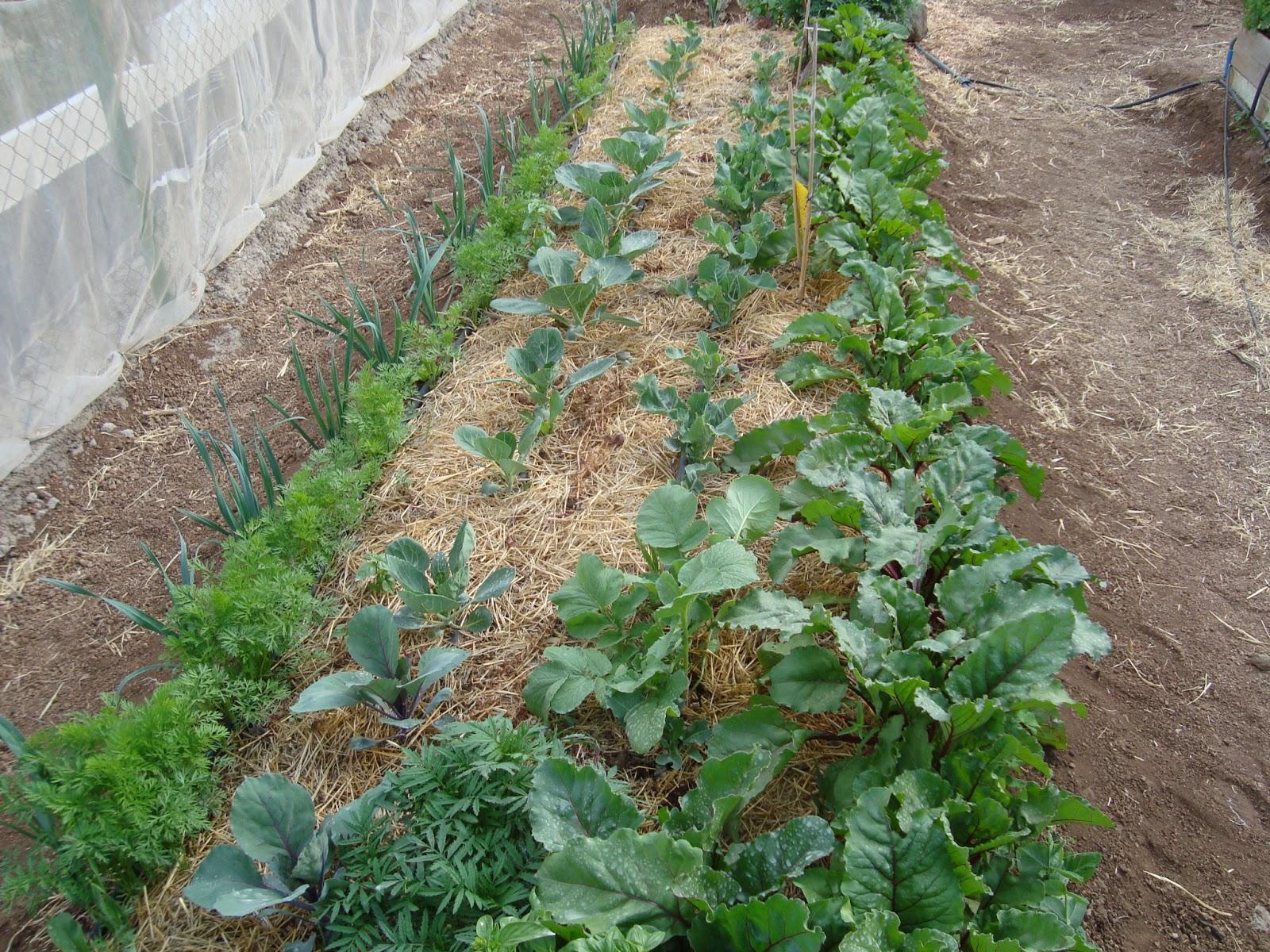 El huerto ecol gico de marcos asociaci n de cultivos Asociaciones de cultivos favorables