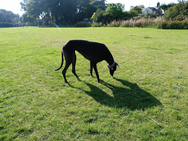 Alice the greyhound