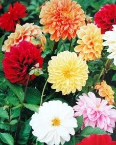 Piante e fiori dalia dahlia - Dalia pianta ...