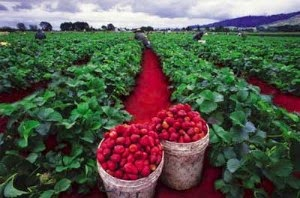 Kebun Strawberry Ciwidey kupuk blog