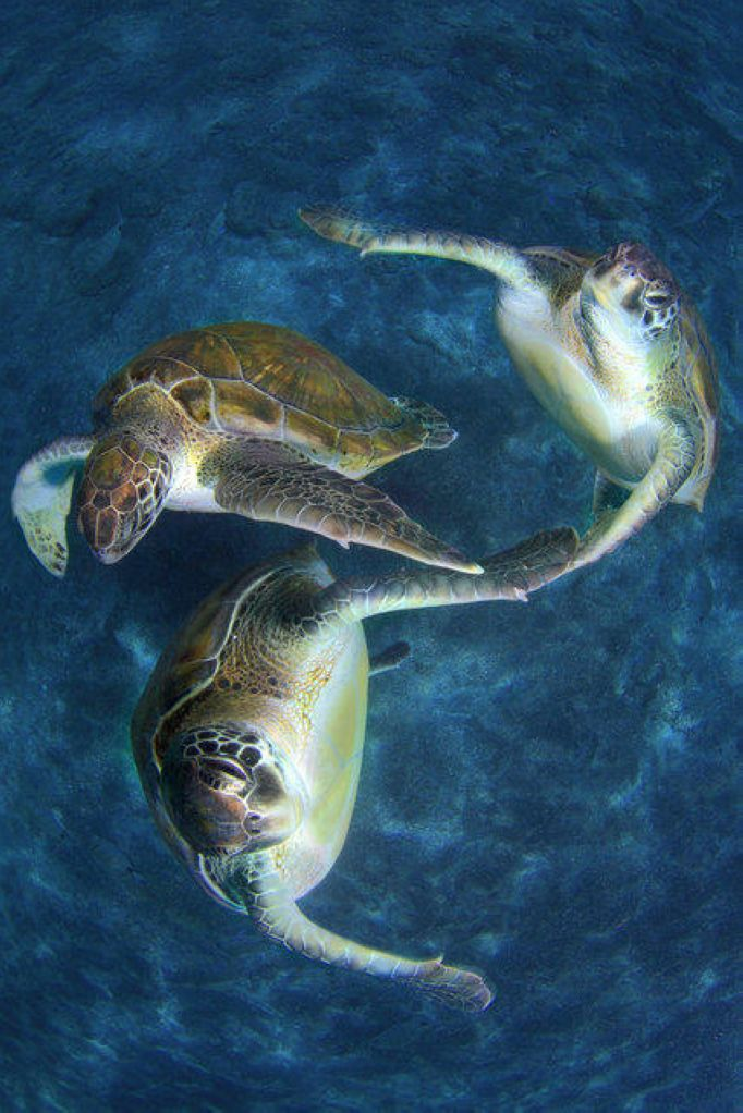 Three turtles swim in unison