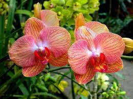 Orhideele (Orchidaceae)