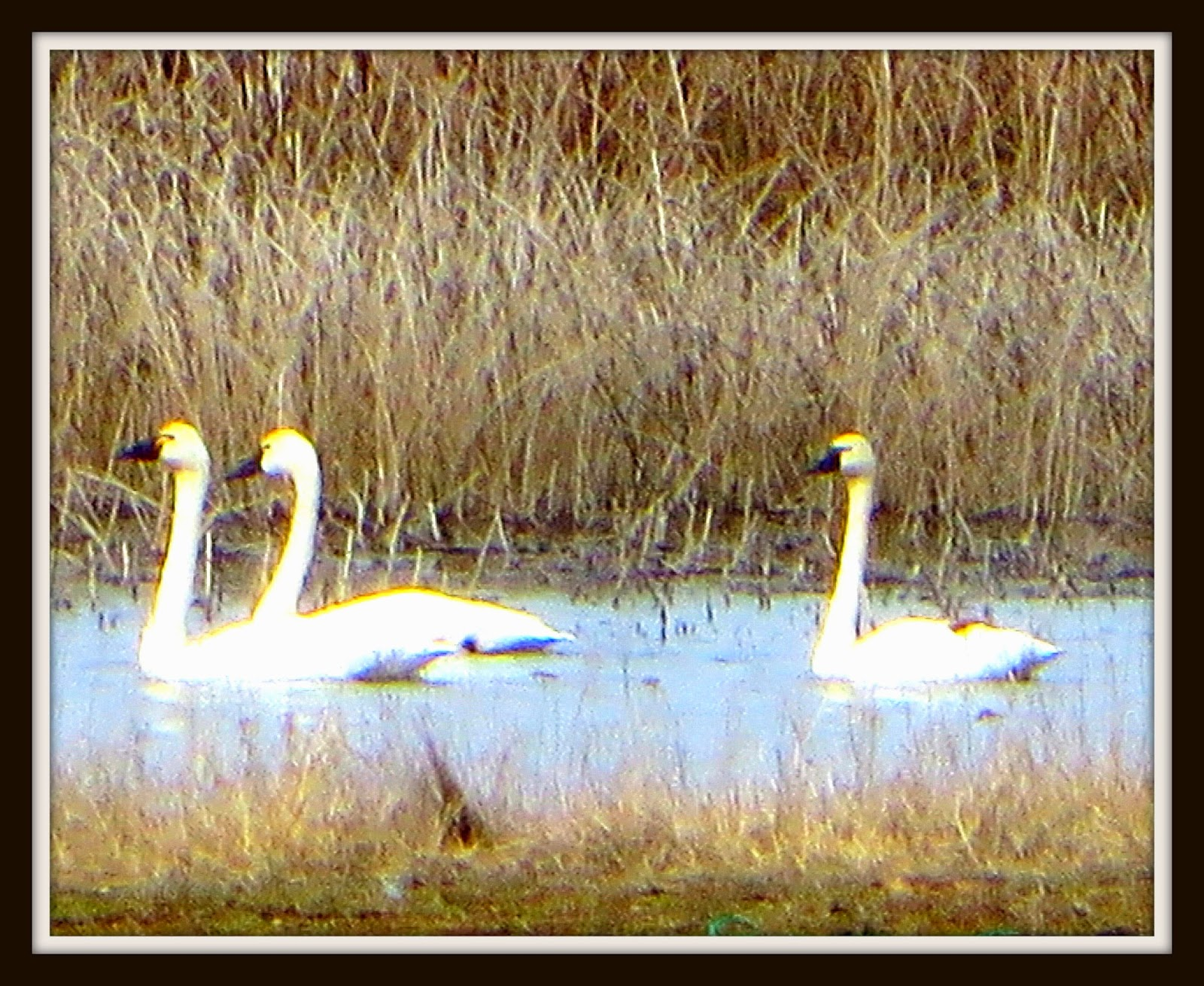 gathering around the table two word essay tundra swans the lake is surrounded by marshlands that attract tundra swans all kinds of ducks and geese and other wildlife during different parts of the year