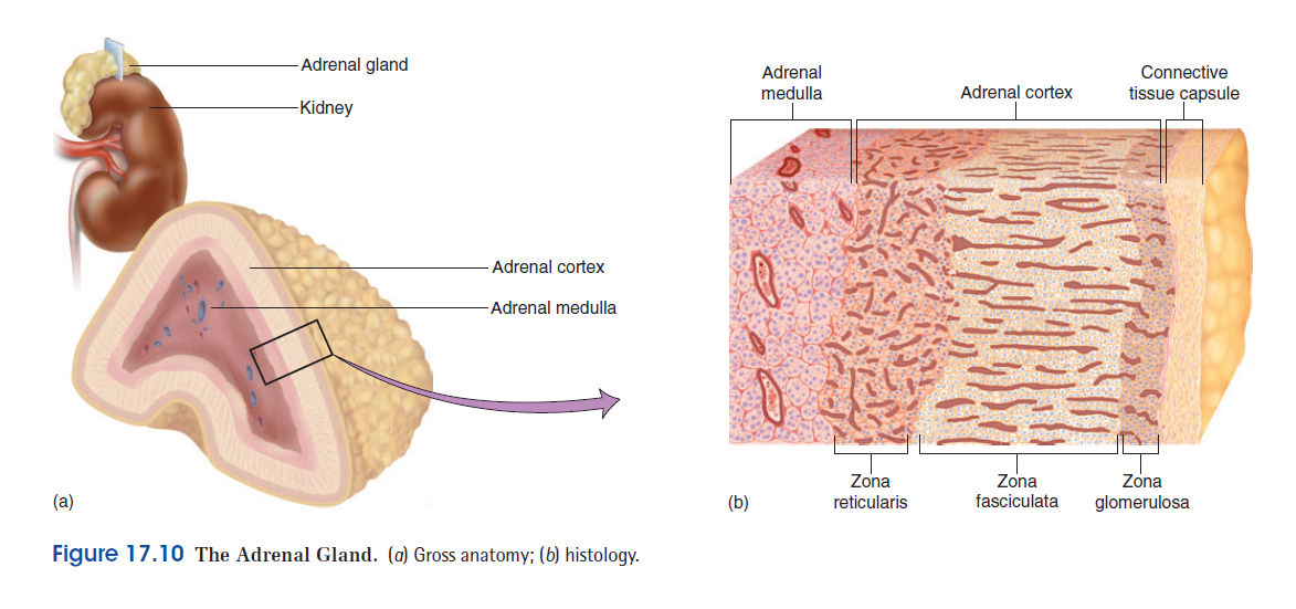 Adrenal Medulla Anatomy
