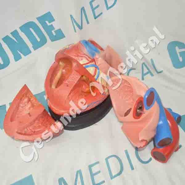 toko manekin torso organ tubuh jantung