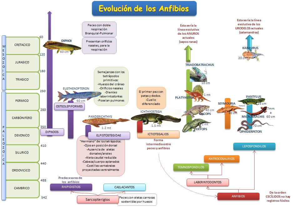 Los Anfibios | Esquemas, diagramas, gráficos y mapas conceptuales.