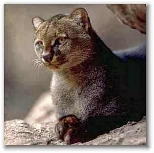 jaguarundi cat