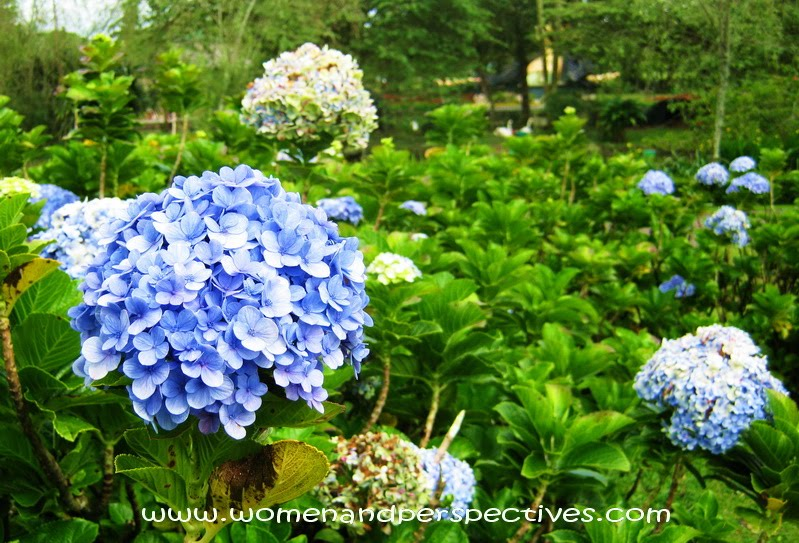 The Common Names Are Hydrangea And Hortensia In Most Species Flowers White But Some Particularly H Macrophylla Can Be Blue Red