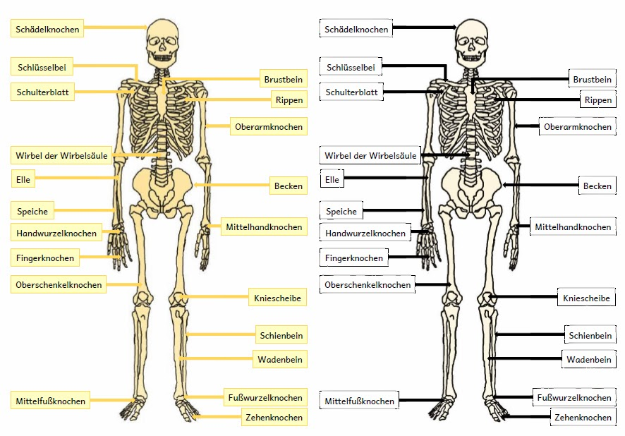 Erfreut Skelett Namen Ideen - Menschliche Anatomie Bilder ...