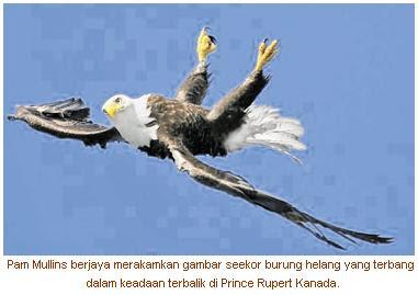 Burung Helang Terbang Terbalik