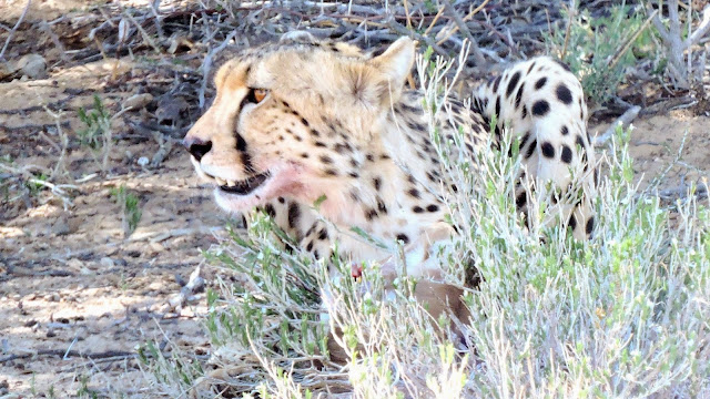 Cheetah in the Kgalagadi Transfrontier Park
